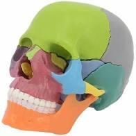 Crane - tête squelette